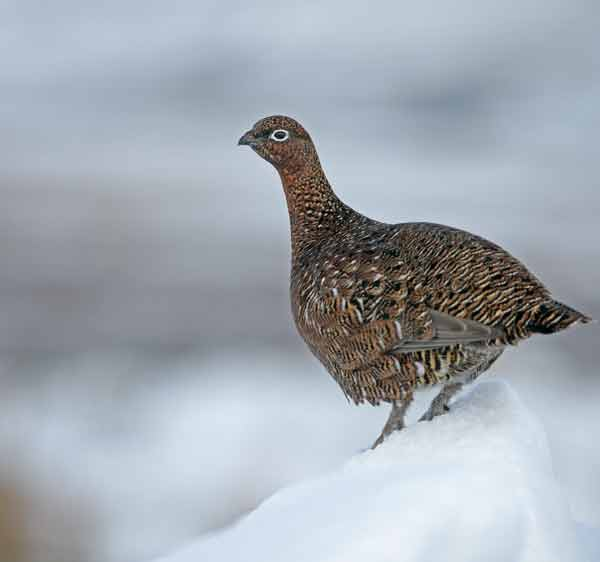 Glenfiddich Snow Phoenix hier kaufen